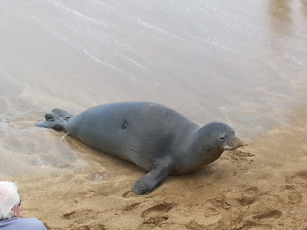 The monk seal, Hawaii's official state mammal, relaxes on the beach near Maui Banyan Vacation Cllub